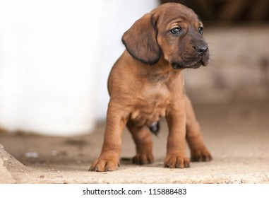 Cute Hanover bloodhound look at something