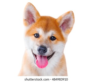 Cute happy Akita Inu purebred puppy dog isolated on white background. Shiba inu. 3 months old puppy portrait