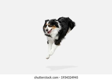 Cute happy Australian Shepherd dog running isolated over white background.