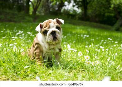 Cute happy bulldog puppy playing on fresh summer grass