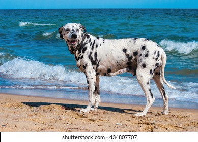 Cute and Happy Dalmatian Dog on the beach of the sea at the summer sunny day