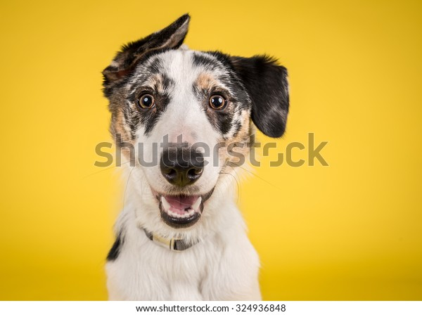 Cute, happy dog headshot smiling on a bright, vibrant yellow background