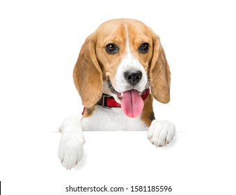A cute happy dog stands on its paws on a blank white plate. Beagle Background is isolated.