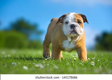 Cute happy english bulldog puppy playing on fresh summer grass