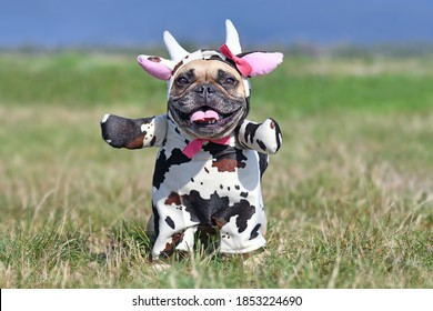 Cute happy French Bulldog dog wearing a funny full body Halloween cow costume with fake arms, horns, ears and ribbon