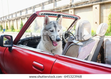Cute happy white - gray Smiling Husky dog sitting in old red car outdoor, on the road in Thailand