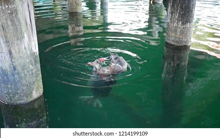 A cute harbor seal eats a fish it caught. Taken in Nanaimo, Canda, but suitable for a wide variety of uses, as they can be found in North America, Europe, and Asia.