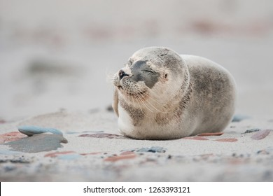Cute Harbor seal pup in the natural environment, Phoca vitulina, Helgoland, North Sea