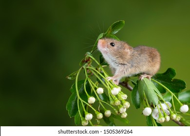 Cute harvest mice micromys minutus on white flower foliage with neutral green nature background