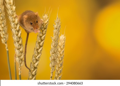 A cute harvest mouse climbing on wheat isolated on a coloured background