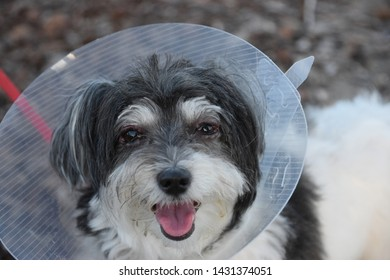 Cute Havanese dog with an eye infection is wearing an elizabethan collar to prevent scratching eyes
