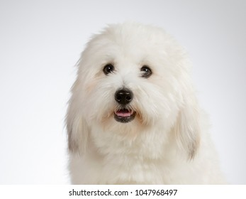 Cute havanese dog portrait. Image taken in a studio with white background.