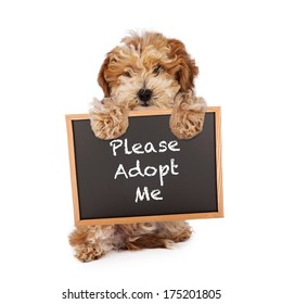 A cute Havanese and Poodle mix puppy holding a chalk board with the words Please Adopt Me