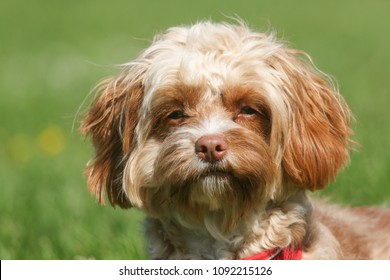 A cute head shot of a young Cavapoo dog. The breed is also commonly known by the names Poodle x King Charles Cavalier Spaniel, Cavoodle, Cavoo.