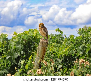 A cute and healthy burrowing owl in a vineyard in Argentina, South America.