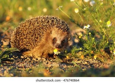 Cute hedgehog with camomile