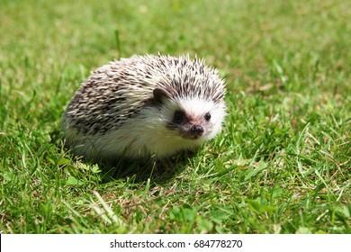 Cute hedgehog in the grass