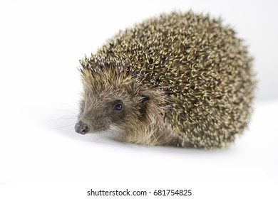 cute hedgehog isolated on white