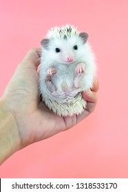 Cute hedgehog 'normal pinto white face' stand on hand with pink background