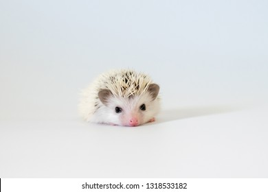 Cute hedgehog 'normal pinto white face' sleep on isolated white background