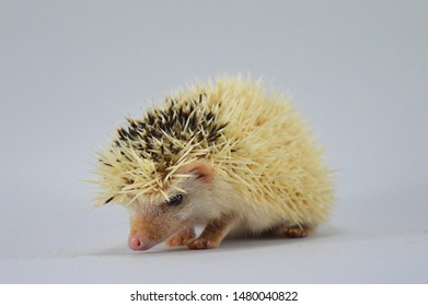 Cute hedgehog 'normal pinto white face' , this pictures was taken on isolated white background by Nikon D3200