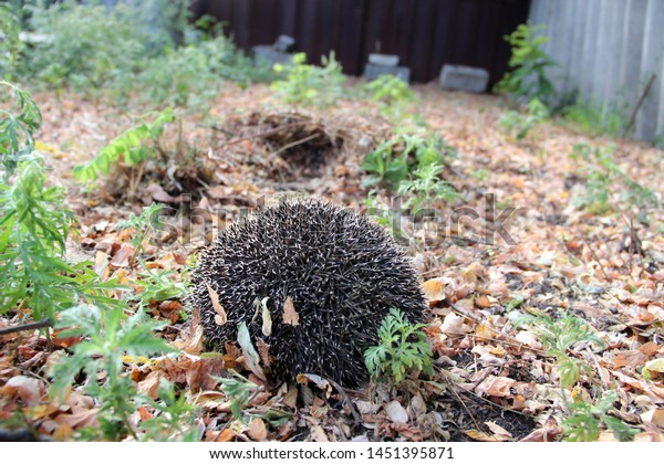 Cute Hedgehog On Background Fallen Leaves Stock Photo Edit