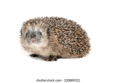 Cute hedgehog sniffing