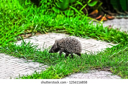 Cute hedgehog walk. Hedgehog siljouette. Hedgehog walking