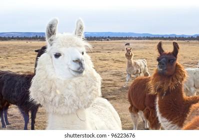 Cute Herd of Oregon Llamas