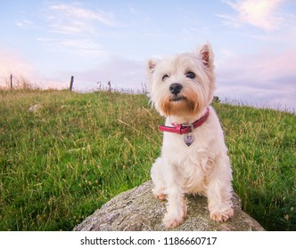 Cute high key portrait of a west highland white terrier dog at dusk sitting on a rock in a field in New Zealand, NZ