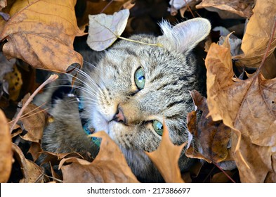Cute Highland Lynx cat hiding in the autumn leaves.