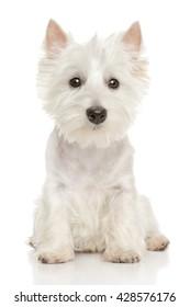 Cute Highland white Terrier westie. Studio portrait