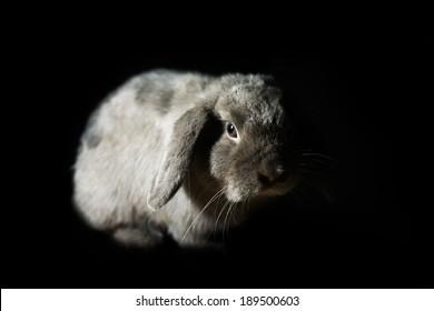 Cute Holland lop rabbit in the dark