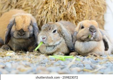 Cute holland lop rabbit eating fresh vegetable