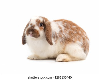 Cute holland lop rabbit isolated on white background.
