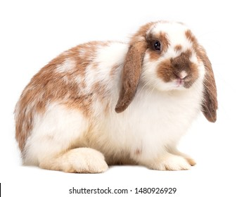 Cute holland lop rabbit isolated on white background. Side view of holland lop rabbit.