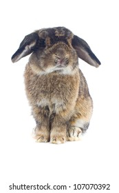 Cute  Holland lop rabbit on white background