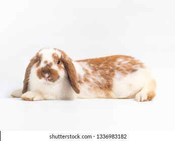 Cute holland lop rabbit white and brown on white background.