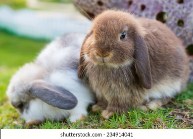 Cute holland lop rabbits  in the garden