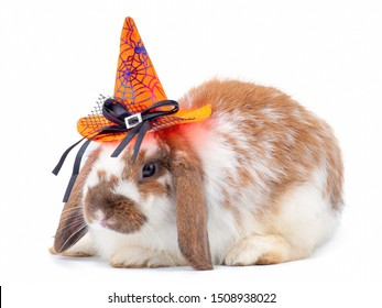 Cute holland lop white and brown rabbit wear a halloween hat isolated on white background. Lovely action of young rabbit. Happy halloween.