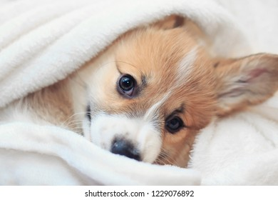 cute homemade corgi puppy lies in a white fluffy blanket funny sticking out his face