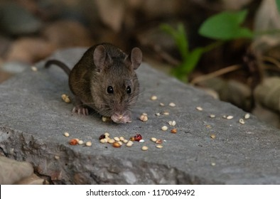 A Cute House Mouse Feeding on Birdseed