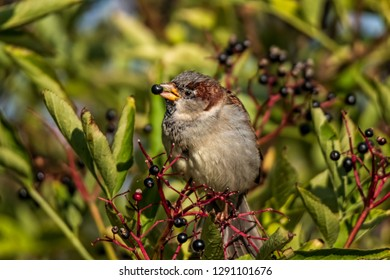 cute house sparrow eating chokeberries