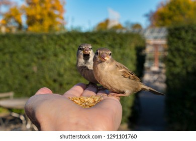 cute house sparrows sitting in hand eating seeds