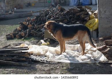cute huge dog outdoors - rural view