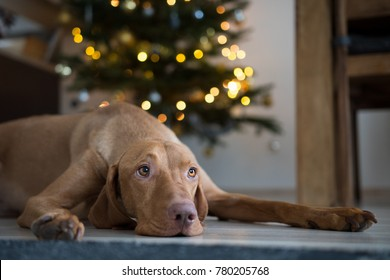 Cute Hungarian hound pointer vizsla dog under the christmass tree
