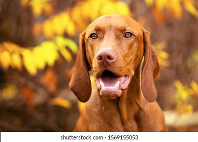Cute hungarian vizsla puppy smiling portrait in beautiful fall garden. Happy vizsla pointer dog looking at camera in a park headshot.