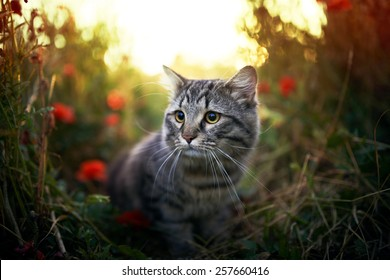 Cute hunting siberian cat in puppy field