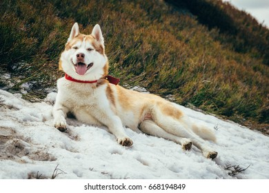 Cute husky dog is lying on the snow