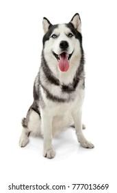 Cute Husky dog on white background